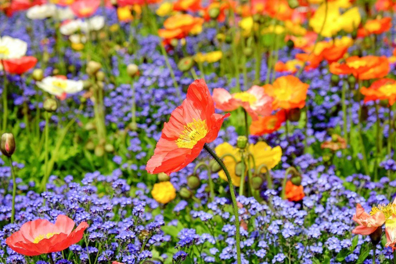 Можно ли есть цветы базилика